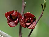 Pawpawflower2
