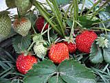 Strawberryhokozoom