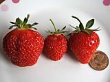 Strawberryhhr10