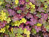 Rubusgoldenquilt