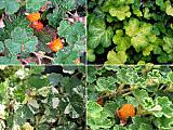 Rubusquartet