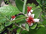 Feijoatraskflower