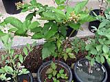 Rubustriplecrown