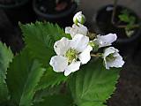 Rubustriplecrownflower