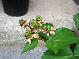 Rubustriplecrownmi1