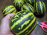 Tigermelonhand