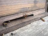 Beesenpubachi