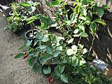 Rubusnatchezpot8