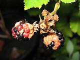 Rubussunburn