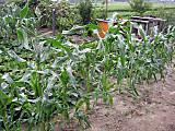 Corn2014_4th