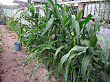 Corn2014_6th