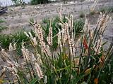 Barleydamage