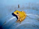 Froglemon