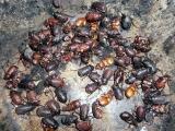 Beetlebacket2
